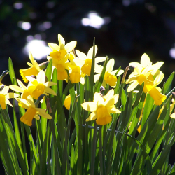 Daffodils (William Wordsworth)