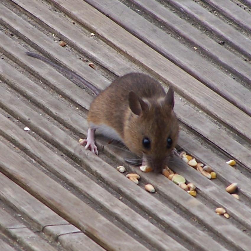 To a Mouse (Robert Burns)